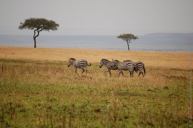 zapovednik-masai-mara-07