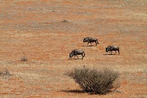 Пустыня Калахари в Южной Африке